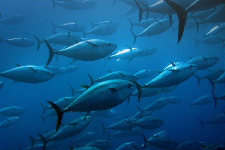 Promueven nueva marca para el atún ecuatoriano