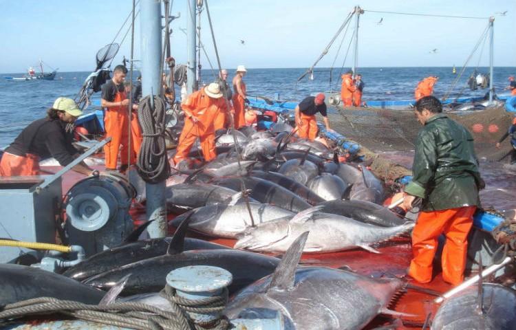 Captura artesanal de atún en cataluña
