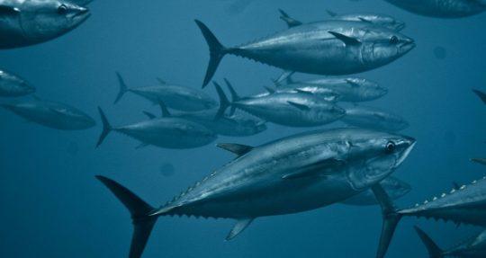 El nuevo plan de gestión del atún albacora de ICCAT fue elogiado por grupos ecologistas