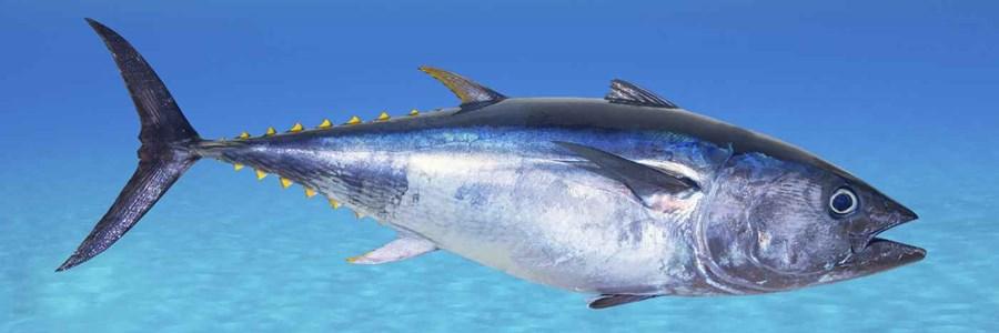 CEPESCA considera decepcionantes las conclusiones de la 25 reunión de ICCAT en lo referente al atún rojo