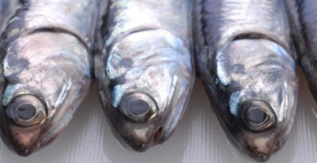 Las pesquerías de reducción de Europa y América latina están bien gestionadas; de Asia no hay datos